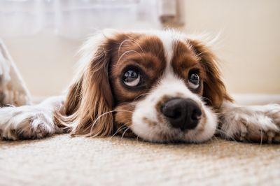 Fluffy hond